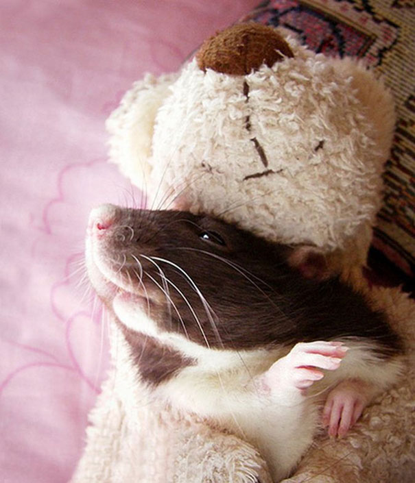 rats-with-teddy-bears-jessica-florence-12